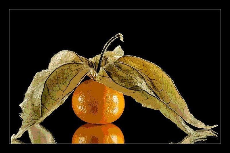 Physalis alkekengi - Fruit cage d amour ...