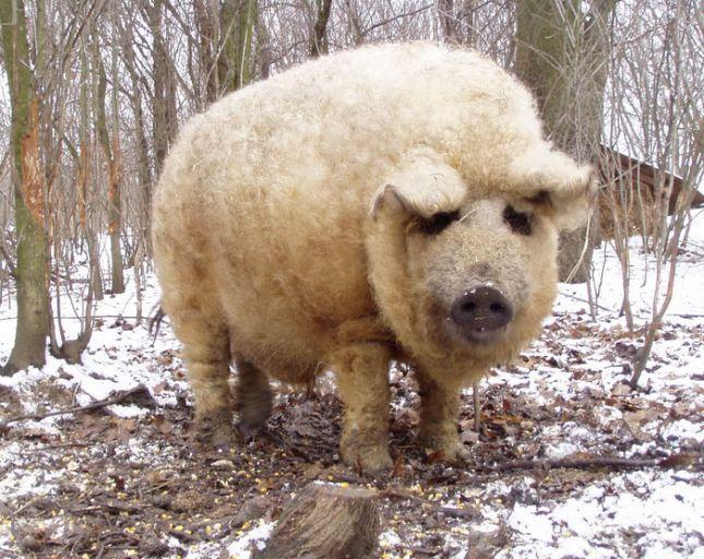 Cochons Laineux le cochon mangalitza