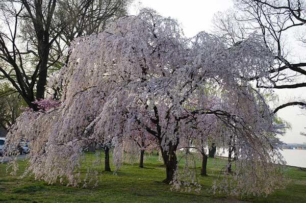 Cerisier Bois Mort : La floraison du somei yoshino co?ncide avec l'?quinoxe de printemps