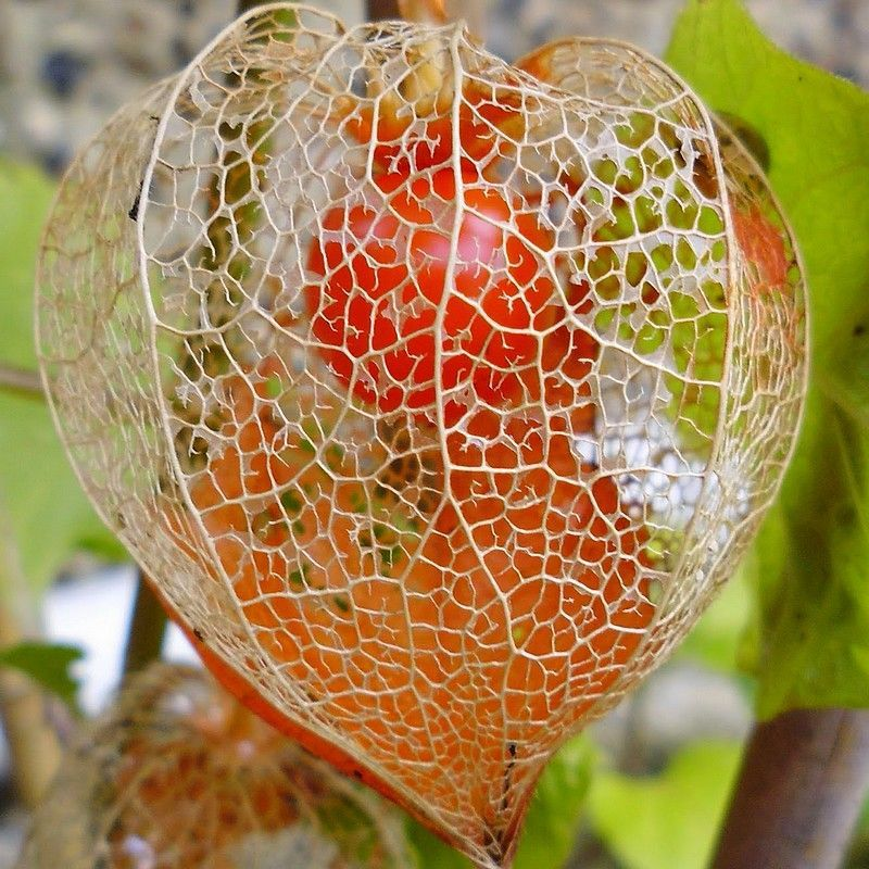 Physalis alkekengi - Amour en cage comestible ...